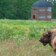 Bisonokserne indtager den danske natur