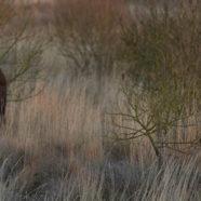 Fem nye elge til Lille Vildmose