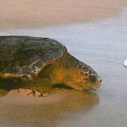 Turtle Foundation projects in Indonesia and Cap Verde